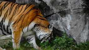 Amur tiger in summer. Exploring new place stock footage
