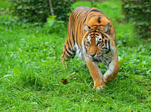 Amur tiger. In summer in nature Royalty Free Stock Images