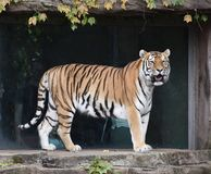 Amur Tiger. This is a Summer picture of a female Amur Tiger on display at the Lincoln Park Zoo located in Chicago, Illinois in Cook County. The Amur Tiger is the royalty free stock photo
