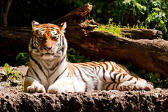 Amur tiger in the sun Stock Photo