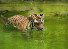 Amur Tiger swimming in the water Stock Photos