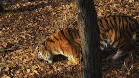 Amur tiger takes piece of fresh meat in leaves in Primorsky Safari park, Russia. Amazing amur tiger takes a piece of fresh meat in dried leaves in Primorsky stock video footage