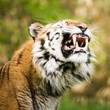 Amur Tiger V Royalty Free Stock Photography