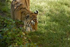 Amur Tiger Walk Royalty Free Stock Image