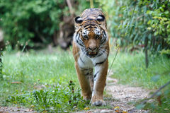 Amur tiger walking along a path trail in the forest Royalty Free Stock Image