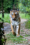 Amur tiger walking along a road in the forest Stock Image
