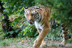Amur tiger walking in the forest Royalty Free Stock Photos