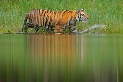 Amur tiger walking in lake water. Danger animal, tajga, Russia. Animal in green forest stream. Green grass, river droplet. Siberia Royalty Free Stock Image
