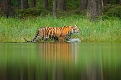 Amur tiger walking in lake water. Danger animal, tajga, Russia. Animal in green forest stream. Grey stone, river droplet. Siberian Royalty Free Stock Photos