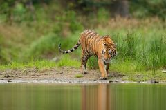 Amur tiger walking near river water. Siberian tiger action wildlife scene, wild cat, nature habitat. Tiger, green water grass. Dan. Amur tiger walking near river royalty free stock photography
