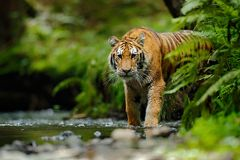Amur tiger walking in river water. Danger animal, tajga, Russia. Animal in green forest stream. Grey stone, river droplet. Siberia Stock Photos