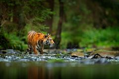 Amur tiger walking in river water. Danger animal, tajga, Russia. Animal in green forest stream. Grey stone, river droplet. Siberia.  royalty free stock photo