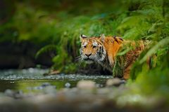 Amur tiger walking in river water. Danger animal, tajga, Russia. Animal in green forest stream. Grey stone, river droplet. Siberia Stock Photography