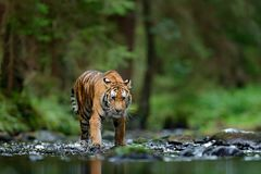 Amur tiger walking in river water. Danger animal, tajga, Russia. Animal in green forest stream. Grey stone, river droplet. Siberia Stock Images