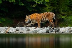 Amur tiger walking in river water. Danger animal, tajga, Russia. Animal in green forest stream. Grey stone, river droplet. Siberia Stock Photo