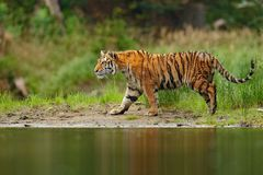 Amur tiger walking in river water. Danger animal, tajga, Russia. Animal in green forest stream. Grey stone, river droplet. Siberia Royalty Free Stock Photo