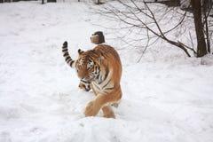 Amur tiger walking in snow. Beautiful siberian tiger walking in the snow in winter Royalty Free Stock Images