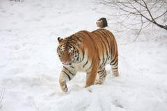 Amur tiger walking in snow. Beautiful siberian tiger walking in the snow in winter Royalty Free Stock Photo