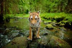 Amur tiger walking in stone river water. Danger animal, tajga, Russia. Siberian tiger, wide lens angle view of wild animal. Big ca Royalty Free Stock Photo