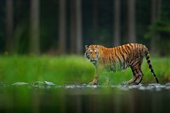 Amur tiger walking in the water. Dangerous animal, tajga, Russia. Animal in green forest stream. Grey stone, river droplet. Siberian tiger splashing water stock photos