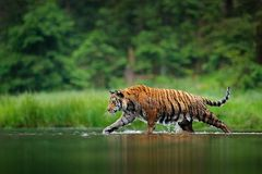 Amur tiger walking in the water. Dangerous animal, tajga, Russia. Animal in green forest stream. Grey stone, river droplet. Siberian tiger splashing water stock photography