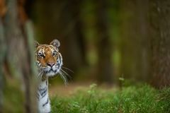 Amur tiger watching the surroundings in the forest. Wild dangerous animal. Siberian tiger, Panthera tigris altaica stock images