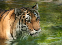 Amur Tiger in the water with reflections. At the zoo royalty free stock photo