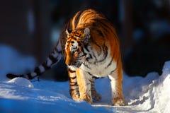 Amur Tiger on white snow Stock Photography