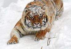 Amur Tiger Stock Photos