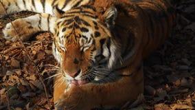 Amur tiger yawns and washes itself. Primorsky Safari park, Russia. Close portrait of amur tiger lying on leaves, yawning and washing itself. Primorsky Safari stock video footage
