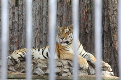 Amur tiger in the zoo enclosure. / Striped big cat growls Stock Image