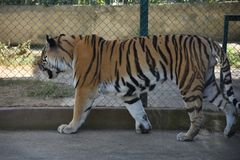 Amur Tigers Royalty Free Stock Photography