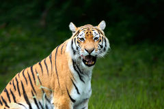 Amur Tigers on a geass Stock Images