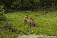 Amur Tigers Royalty Free Stock Photo