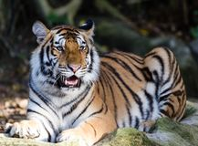 Amur Tigers Stock Photo