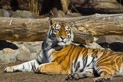 Amur tigress. Young amur tigress (Panthera tigris altaica) in the Moscow zoo Stock Photo