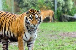 Amur tygrys Obraz Royalty Free
