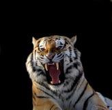 Amur tygrys obraz stock