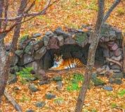 Amur tygrys chował pod baldachimem deszcz piękny duży kot w drewnach Obraz Royalty Free