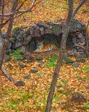 Amur tygrys chował pod baldachimem deszcz piękny duży kot w drewnach Fotografia Royalty Free