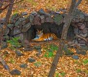 Amur tygrys chował pod baldachimem deszcz piękny duży kot w drewnach Zdjęcie Stock