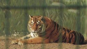 Amur tygrys kłama na ziemi w zwierzęcym piórze zbiory