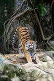 Amur tygrys rozciąga out Zdjęcie Royalty Free
