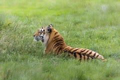 Amur tygrysa odpoczywać Fotografia Royalty Free