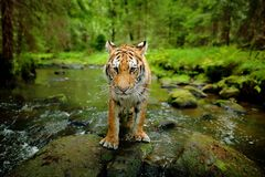 Amur tygrysi odprowadzenie w kamiennej wodzie rzecznej Niebezpieczeństwa zwierzę, tajga, Rosja Syberyjski tygrys, szeroki obiekty Zdjęcie Royalty Free