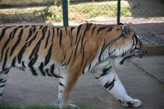 Amur tygrysy Zdjęcia Royalty Free
