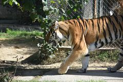 Amur tygrysy obraz royalty free