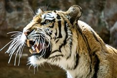 The Amur or Ussuri tiger, or the Far Eastern tiger Lat. Panthera tigris altaica is a subspecies of the tiger, the northernmost. Tiger. Listed in the Red Book stock photo