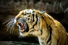 The Amur or Ussuri tiger, or the Far Eastern tiger Lat. Panthera tigris altaica is a subspecies of the tiger, the northernmost. Tiger. Listed in the Red Book royalty free stock photos