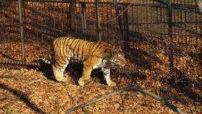 Amur or ussuri tiger is walking in Primorsky Safari park, Russia. Beautiful and strong amur or ussuri tiger is walking in Primorsky Safari park, Russia. Safari stock video